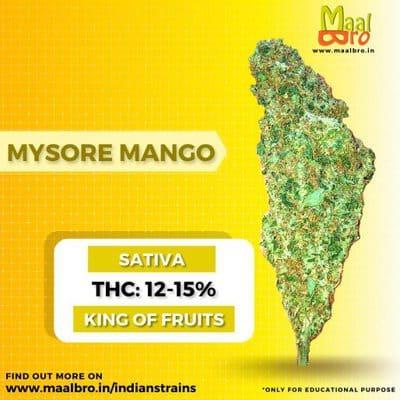 mysore mango strain